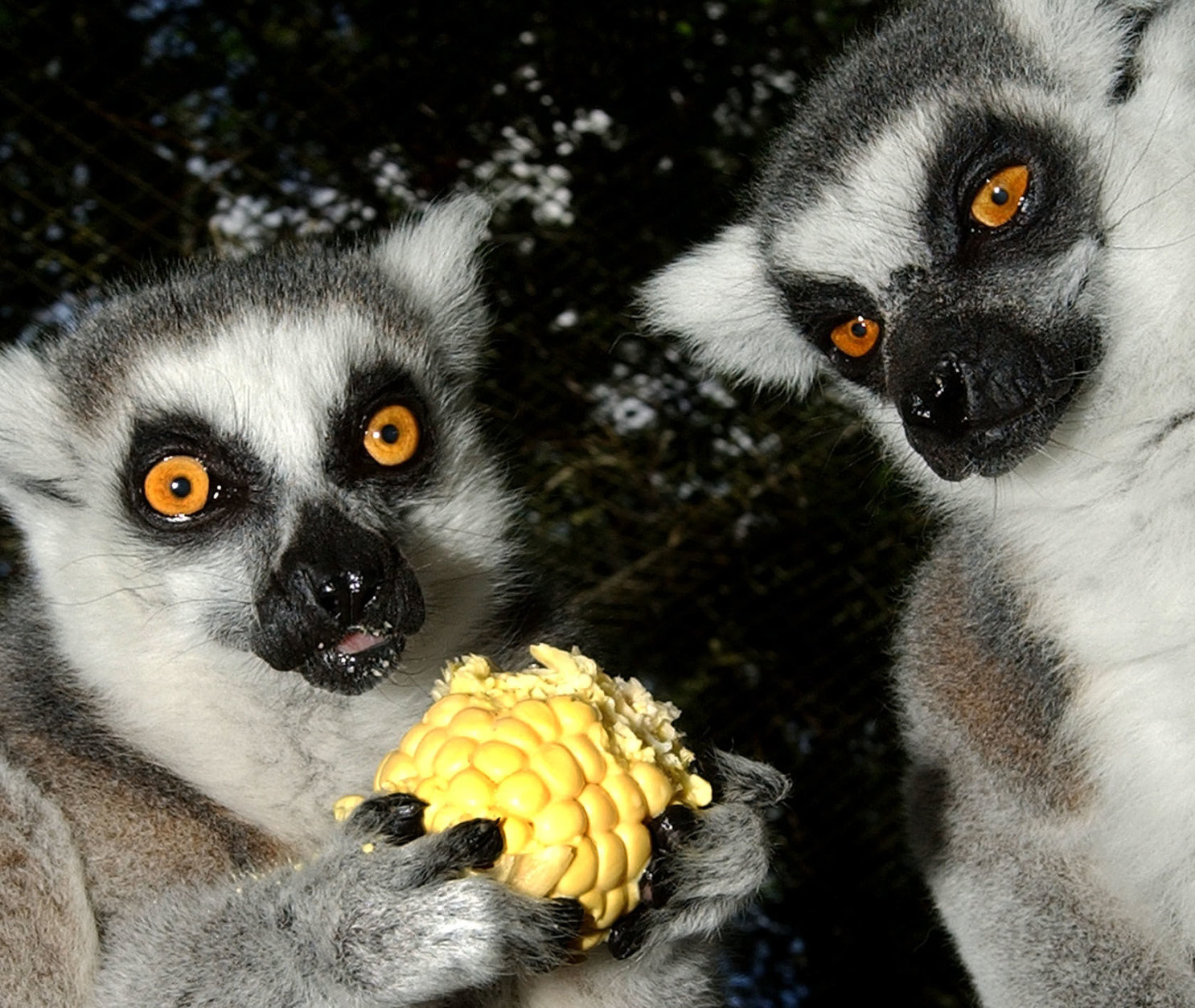 Two ring-tailed lemurs at the Tallahassee Museum of History and Natural Science, attempt to settle the dilemma of one ear of corn between them, Wednesday, June 26, 2002. The lemurs, native to Madagascar, are on loan to the museum's guest animal habitat from the Brevard Zoo, in Melbourne, Fla. (AP Photo/Phil Coale)