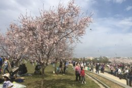 Some trees have already reached the final stage of the blooming process, but peak bloom is projected to be April 1-3. (WTOP/Melissa Howell)