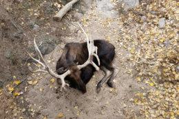 Moose. Cheyenne Mountain Zoo. Colorado Springs, Colorado.