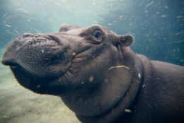 FILE - In this Nov. 2, 2017, file photo, Fiona, a Nile hippopotamus plays in her enclosure at the Cincinnati Zoo & Botanical Garden, in Cincinnati. The zoo and ArtWorks are collaborating to create a mural to honor Fiona after she captured the world's attention during her fight to survive premature birth. (AP Photo/John Minchillo, File)