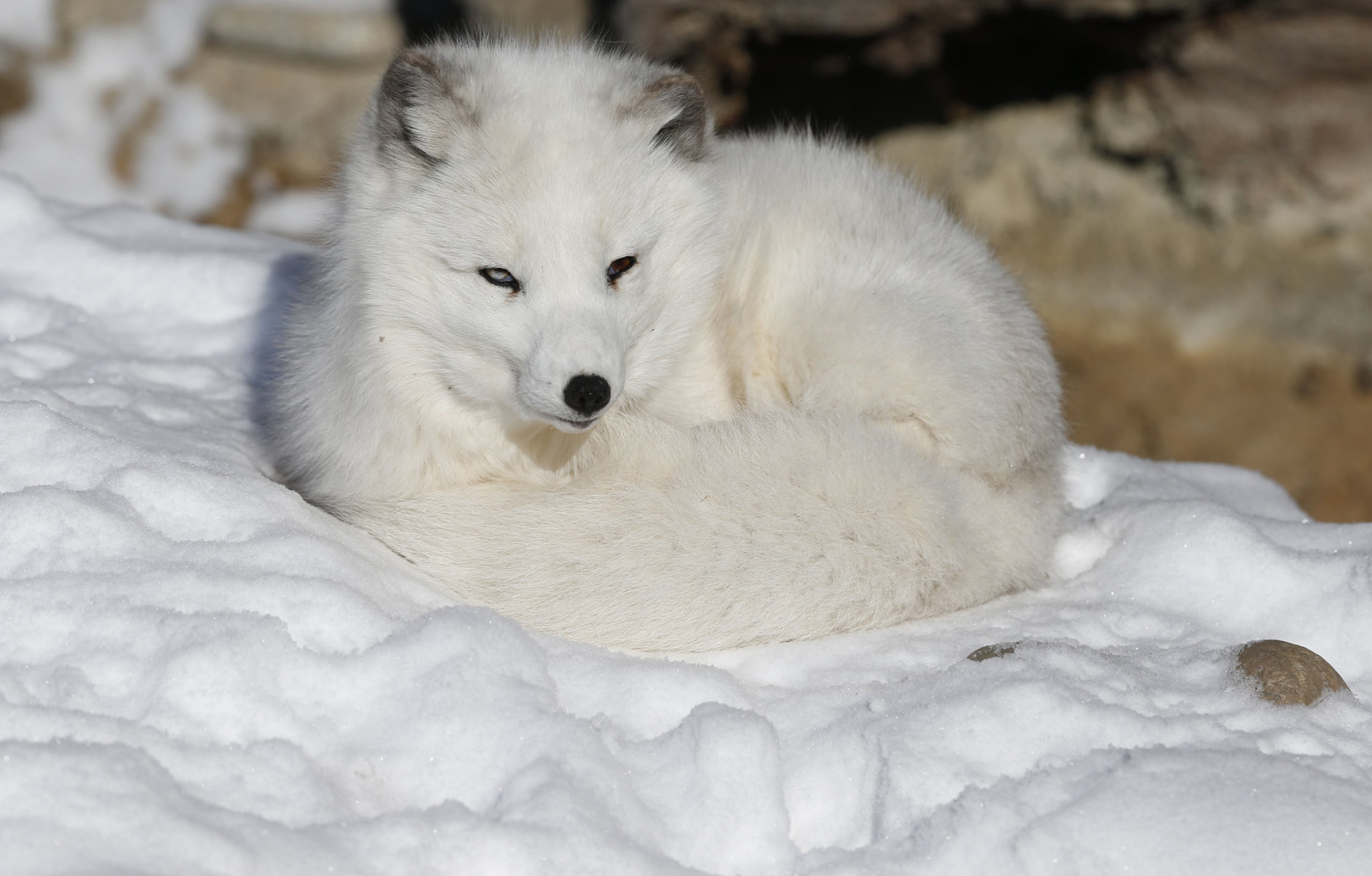 Nola the arctic fox curls up on the snow, at Denver Zoo, which was closed to the public due to extreme cold, in Denver Thursday Dec. 5, 2013. A wintry storm pushing through the western half of the country has brought bitterly cold temperatures that prompted safety warnings for residents in the Rockies and threatened crops as far south as California. (AP Photo/Brennan Linsley)