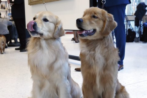 Lab or golden retriever? In DC, the most popular dog breed is …