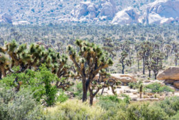 Lots of Joshua Trees in Joshua Tree National Park in Southern California on a sunny summer day in the Mojave desert