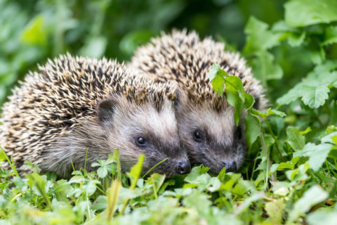 CDC links recent Salmonella outbreak to pet hedgehogs