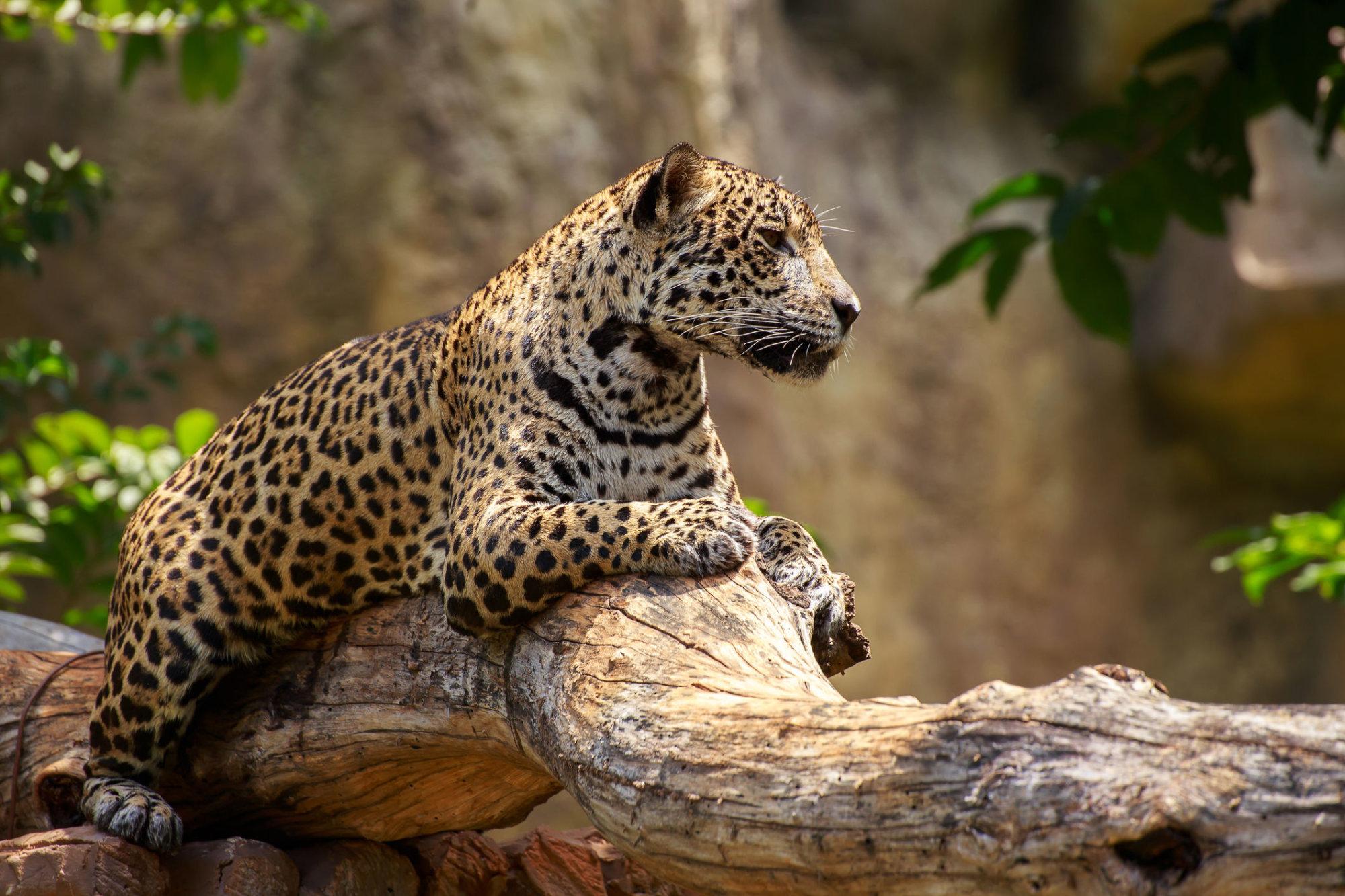 Jaguar attacks woman taking selfie at Arizona zoo | WTOP