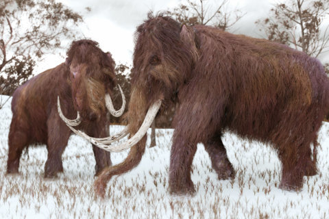At 90, Japanese scientist still dreams of resurrecting a woolly mammoth
