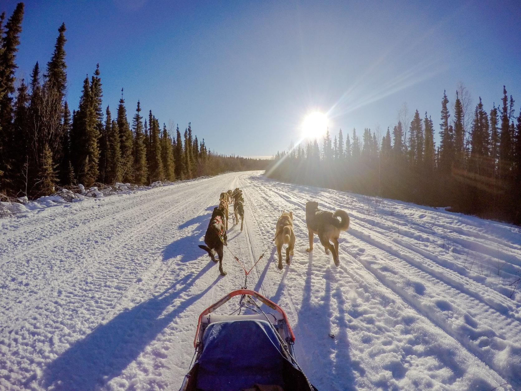 Sled dogs in Alaska