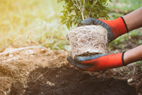 Pepco offering free trees to help homeowners lower energy bills