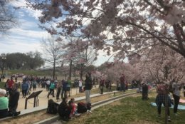 People rest under the cherry blossoms on March 30, 2019. (WTOP/Melissa Howell)