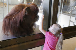 In this Friday, May 6, 2016, photo, a visitor to the Indianapolis Zoo's International Orangutan Center gestures to Katy, one of the center's orangutans, in Indianapolis. The zoo started using dynamic pricing in 2014, using software by Digonex. It was a way to prevent overcrowding before the opening of the zoo's popular orangutan exhibit. (AP Photo/Michael Conroy)
