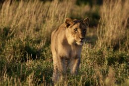 Lioness on the golden hour