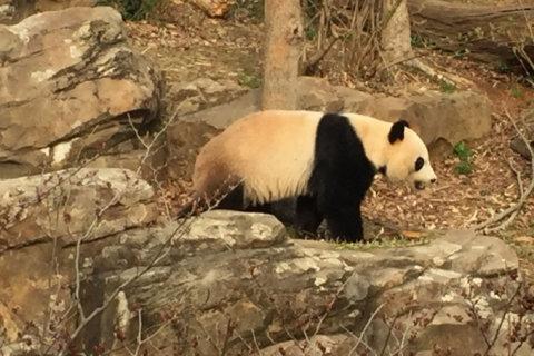 Panda Watch: Is Mei Xiang pregnant? 'Waiting game' begins at National Zoo