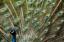 A peacock displays its feathers at the Philadelphia Zoo in Philadelphia, Thursday, June 5, 2008.  (AP Photo/Matt Rourke)