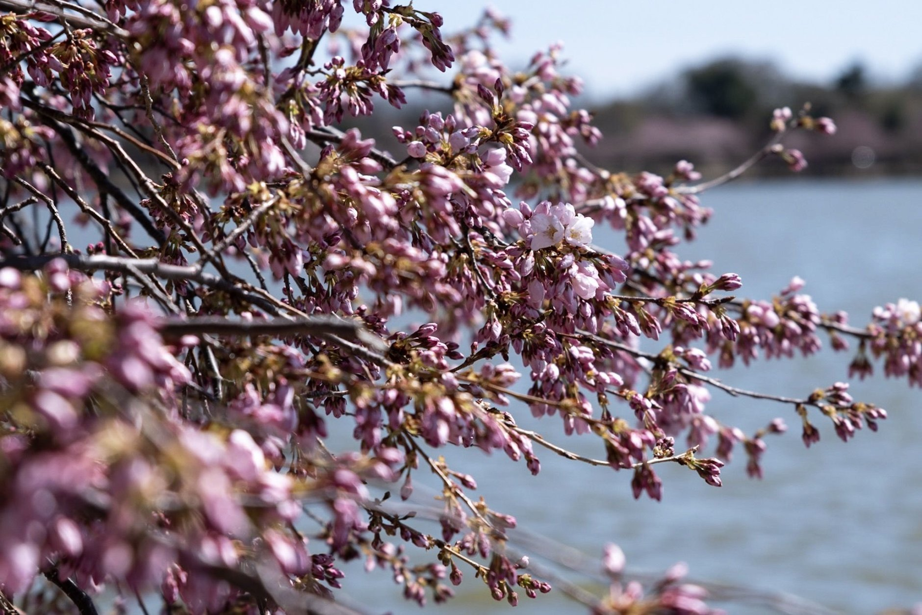 A cluster of cherry blossoms hovers over the Tidal Basin on Thursday, with only a few flowers in bloom — and more to follow in a matter of days. (WTOP/Alejandro Alvarez)