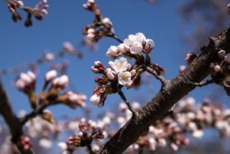 On March 28, three days before the forecast full bloom on April 1, all trees were fully loaded with reddish-pink buds — and a few early blooms, like these. (WTOP/Alejandro Alvarez)
