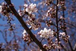A cluster of white cherry blossoms in bloom on March 28. (WTOP/Alejandro Alvarez)