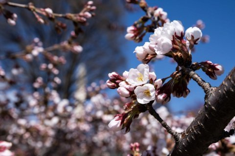 Will a mild winter mean an early bloom for DC's cherry blossoms?