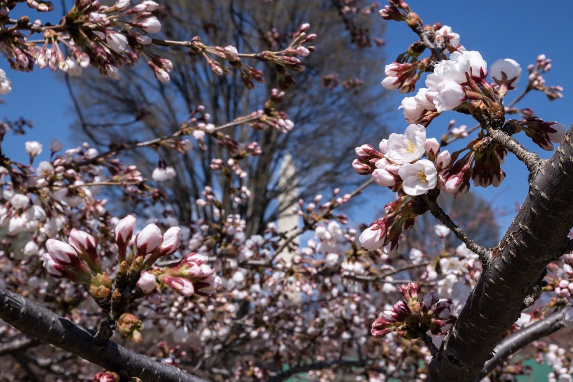 """The National Park Service defines """"peak bloom"""" as the day when 70 percent of the Yoshino Cherry's flowers are open. On March 28, just a few flowers were in full bloom — the majority of the buds were still closed, seen here lower-left. (WTOP/Alejandro Alvarez)"""