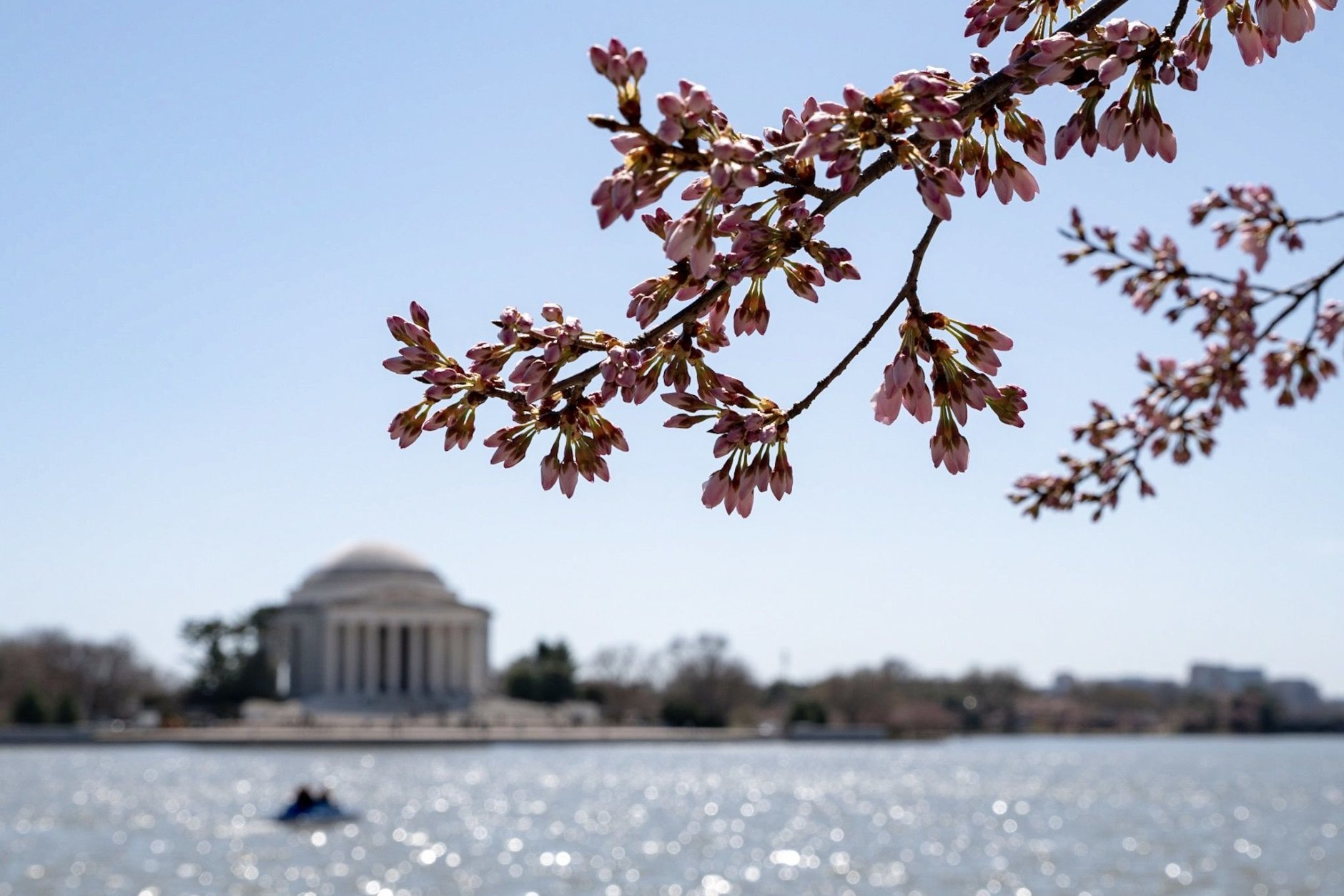 The Jefferson Memorial and a branch full of florets above the Tidal Basin on March 28. (WTOP/Alejandro Alvarez)