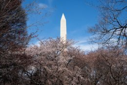 The Washington Monument towers above white and pink cherry trees on the National Mall. The eastern shore of the Tidal Basin makes for excellent views of the monument with cherry trees in the foreground. (WTOP/Alejandro Alvarez)