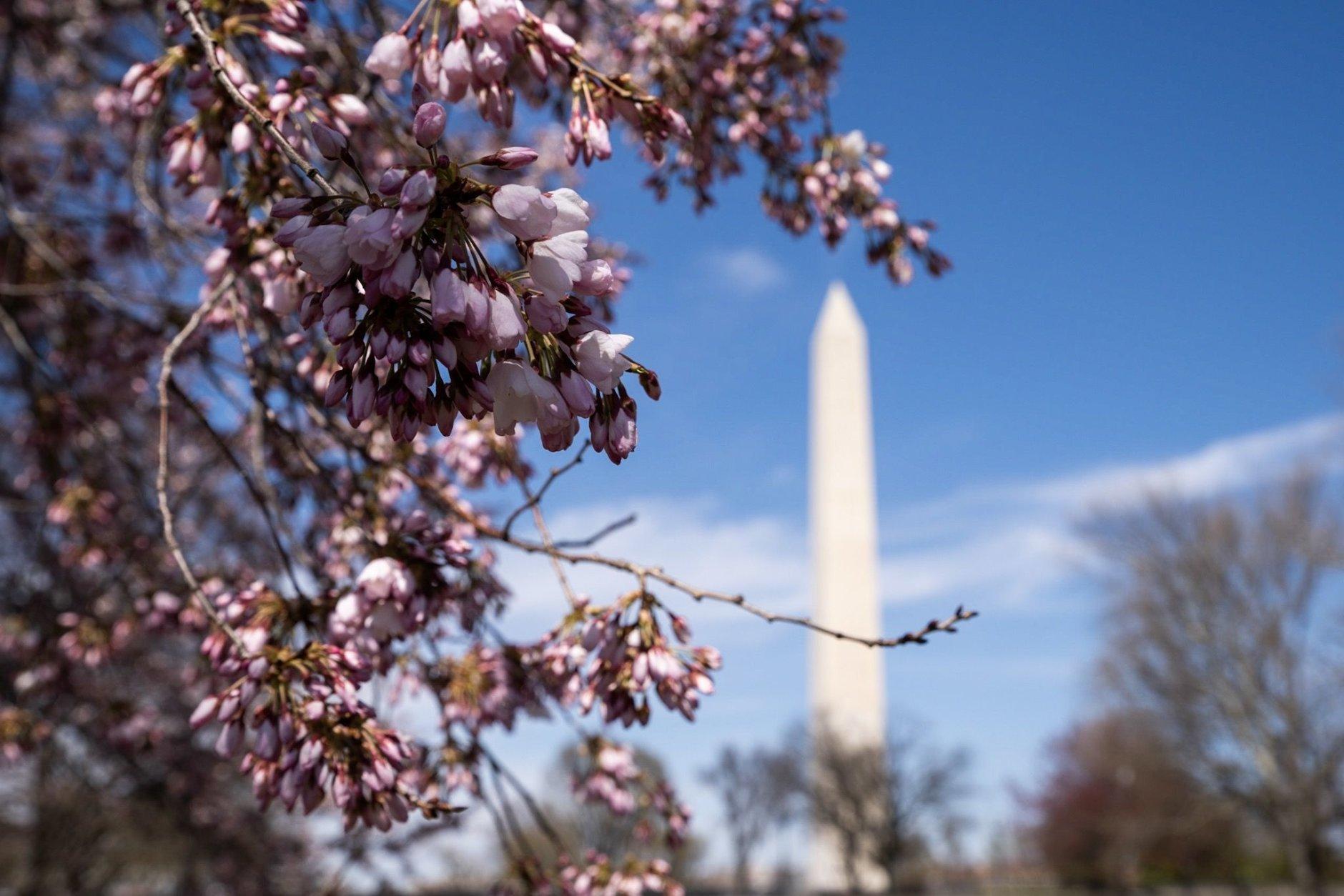 Cherry blossoms along the Tidal Basin near the Cherry Blossom Festival's main stage on March 28. (WTOP/Alejandro Alvarez)