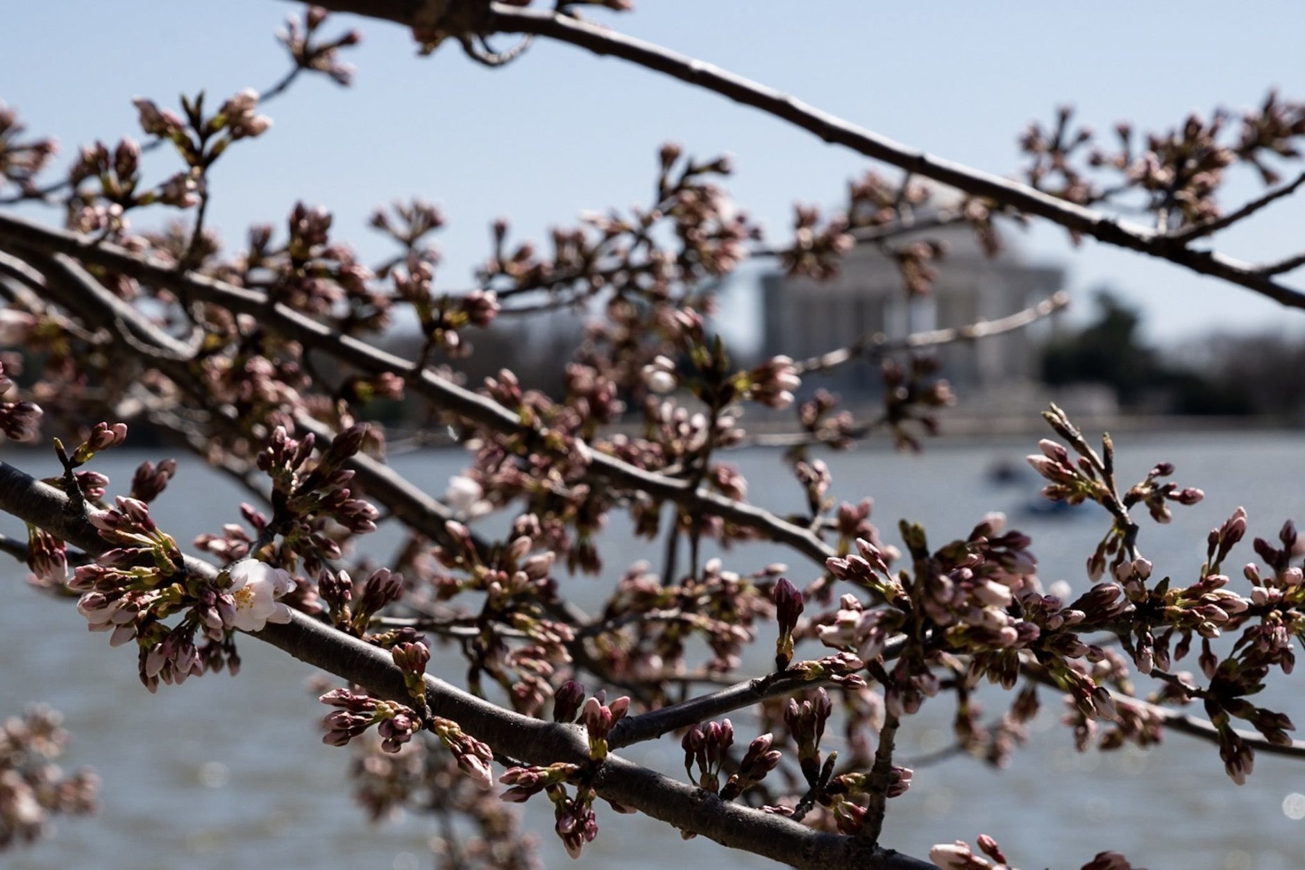 Branches with the Jefferson Memorial in the backdrop on March 28. (WTOP/Alejandro Alvarez)