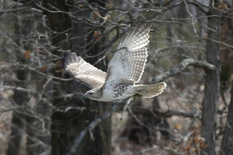 Live Free and Fly: New Hampshire House approves state raptor