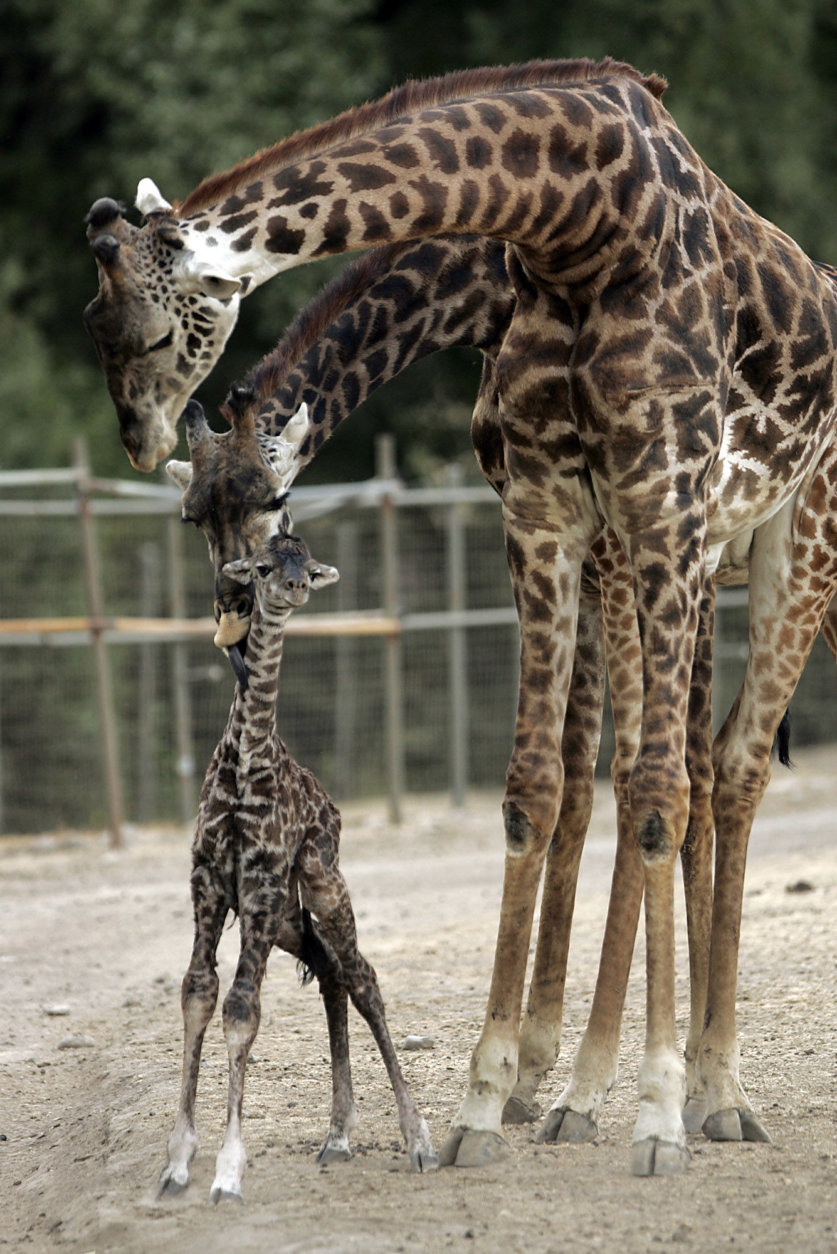 A baby Masai giraffe, born 30 minutes before, stands with his mother Jamala and father Tufani at the Safari West animal preserve in Santa Rosa, Calif., Wednesday evening, Sept. 3, 2008 The healthy baby boy stands 6 feet tall and weighs about 130 pounds. There are only 81 Masai giraffes in the United States. (AP Photo/The Press Democrat, John Burgess) ** MANDATORY CREDIT **