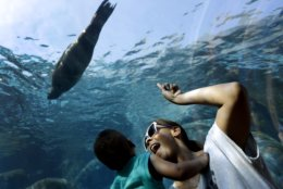 Danielle Kennedy and her son Kingston, 1, watch as a sea lion swims overhead in a Saint Louis Zoo exhibit Thursday, Sept. 5, 2013, in St. Louis. In the exhibit, visitors walk through an underwater tunnel to watch as sea lions frolic overhead and all around. (AP Photo/Jeff Roberson)