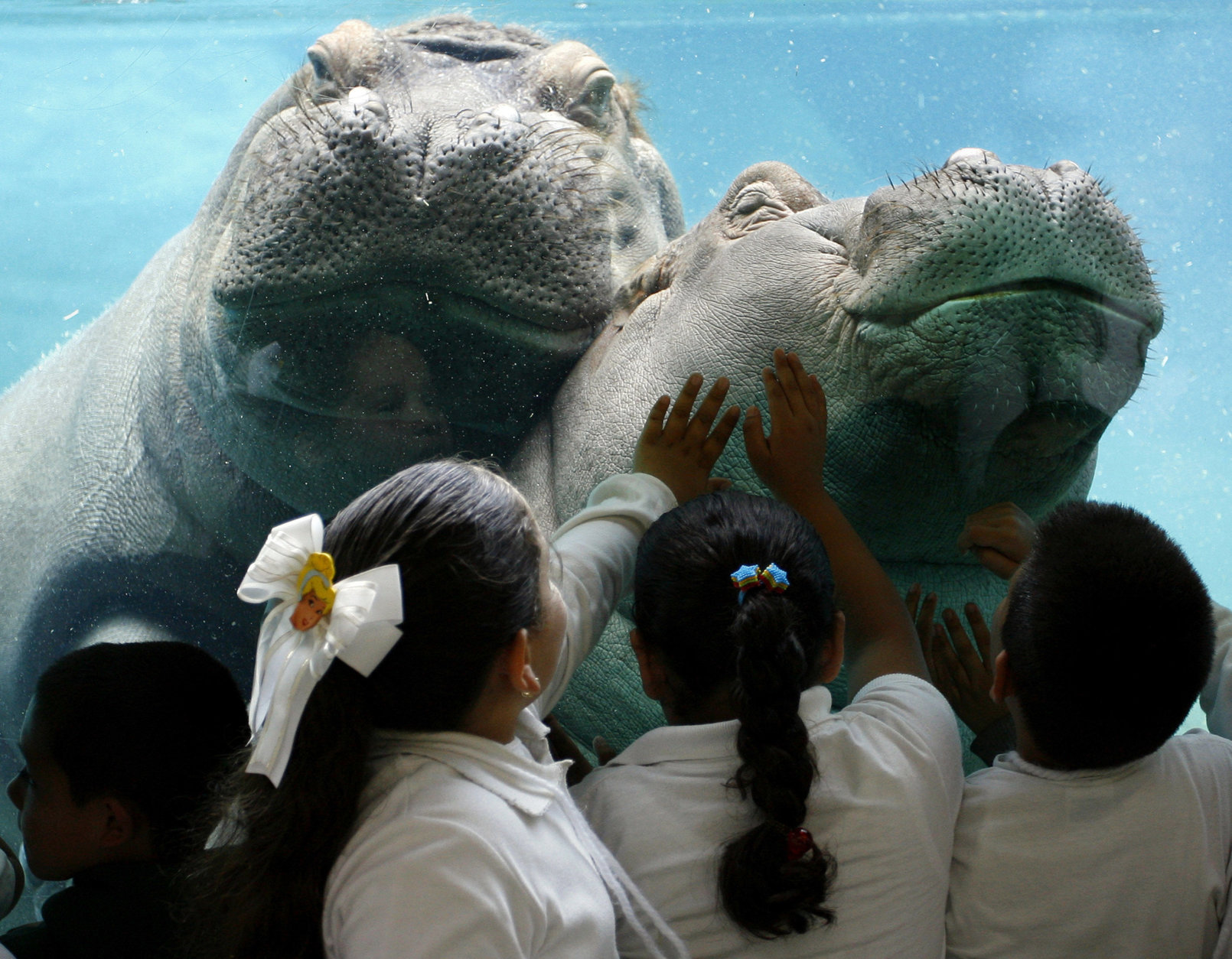 School children reach out an touch the glass as African River Hippos Funani, left, and Jazi, right, swim at the Ituri Forest exhibit in the San Diego Zoo Tuesday, May 9, 2006, in San Diego. (AP Photo/Denis Poroy)