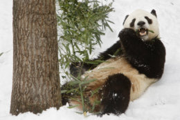 Panda Tai Shan, 4, is seen on his last day at the National Zoo in Washington, on Wednesday, Feb. 3, 2010. Tai Shan, who was born at the zoo in 2005, will be sent to China on Thursday to become part of a breeding program. Under the Smithsonian's panda loan agreement, any cub born at the zoo must be returned to China for breeding. (AP Photo/Jacquelyn Martin)
