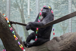 FILE - In this December 2012, file photo, provided by the Columbus Zoo and Aquarium, Colo, a lowland gorilla, sits in her enclosure at the zoo in Powell, Ohio. Colo, the first gorilla born in a zoo, is turning 58, Monday, Dec. 22, 2014, with a celebration broadcast live to online viewers from her central Ohio home. (AP Photo/Columbus Zoo and Aquarium, Grahm S. Jones, File)
