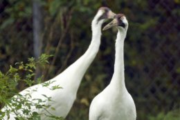 This Oct. 9, 2018 photo shows whooping cranes at the Patuxent Wildlife Research Center near Laurel, Md.  The last of a flock of 75 whooping cranes has left a U.S. Geological Survey site in Maryland, Wednesday, March 13, 2019, marking the end of a 52-year-old breeding program.  (Jerry Jackson/The Baltimore Sun via AP)