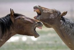 FILE -In this June 29, 2018, file photo, wild horses occupy a watering hole outside Salt Lake City. The U.S. government is seeking new pastures for thousands of wild horses that have overpopulated Western ranges. Landowners interested in hosting large numbers of rounded-up wild horses on their property can now apply with the U.S. Bureau of Land Management. (AP Photo/Rick Bowmer, File)