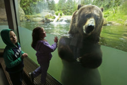 Young visitors get an up-close look at one of two grizzly bears at the Woodland Park Zoo, as he takes a swim, Thursday, June 2, 2016, in Seattle. Saturday will be the zoo's Bear Affair conservation day and Washington Gov. Jay Inslee has designated June 4-12 as Washington state's Bear Awareness Week. (AP Photo/Ted S. Warren)