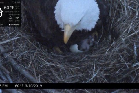 Hatch watch: An eaglet has landed in Charles County