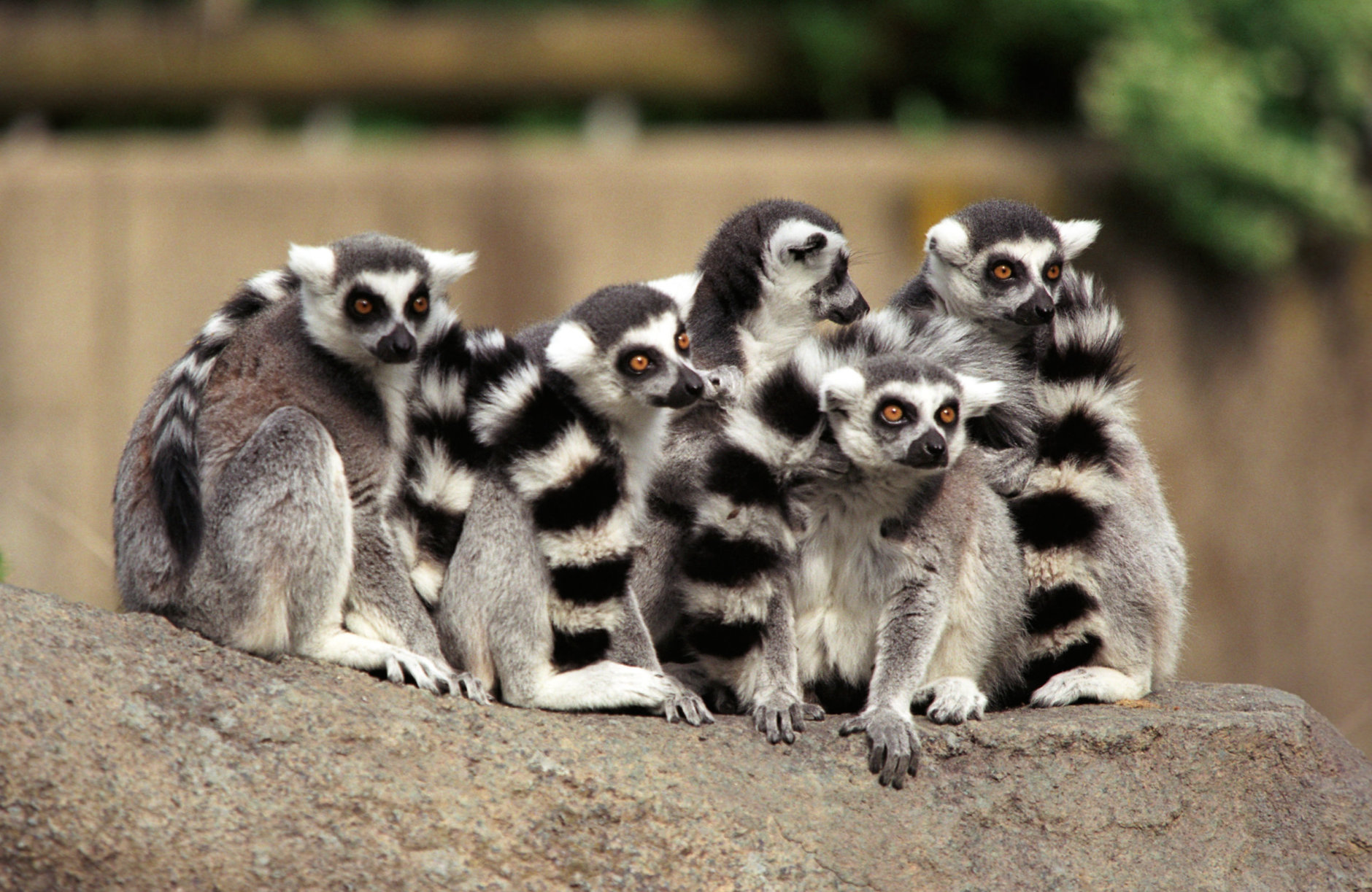 A pack of ring-tailed lemurs huddles together at the Cincinnati Zoo.