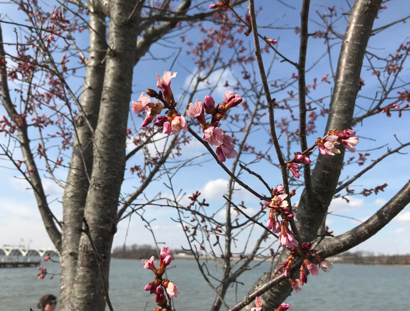 National Harbor in Prince George's County will showcase its onw cherry blossom trees. (WTOP/Michelle Basch)