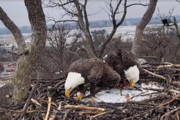 Justice (left) spruces up his nest while Liberty chows down on a fish. (Courtesy Earth Conservation Corps via Facebook)