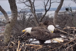 Justice (left) yells at traffic while Liberty chows down on a fish. (Courtesy Earth Conservation Corps via Facebook)