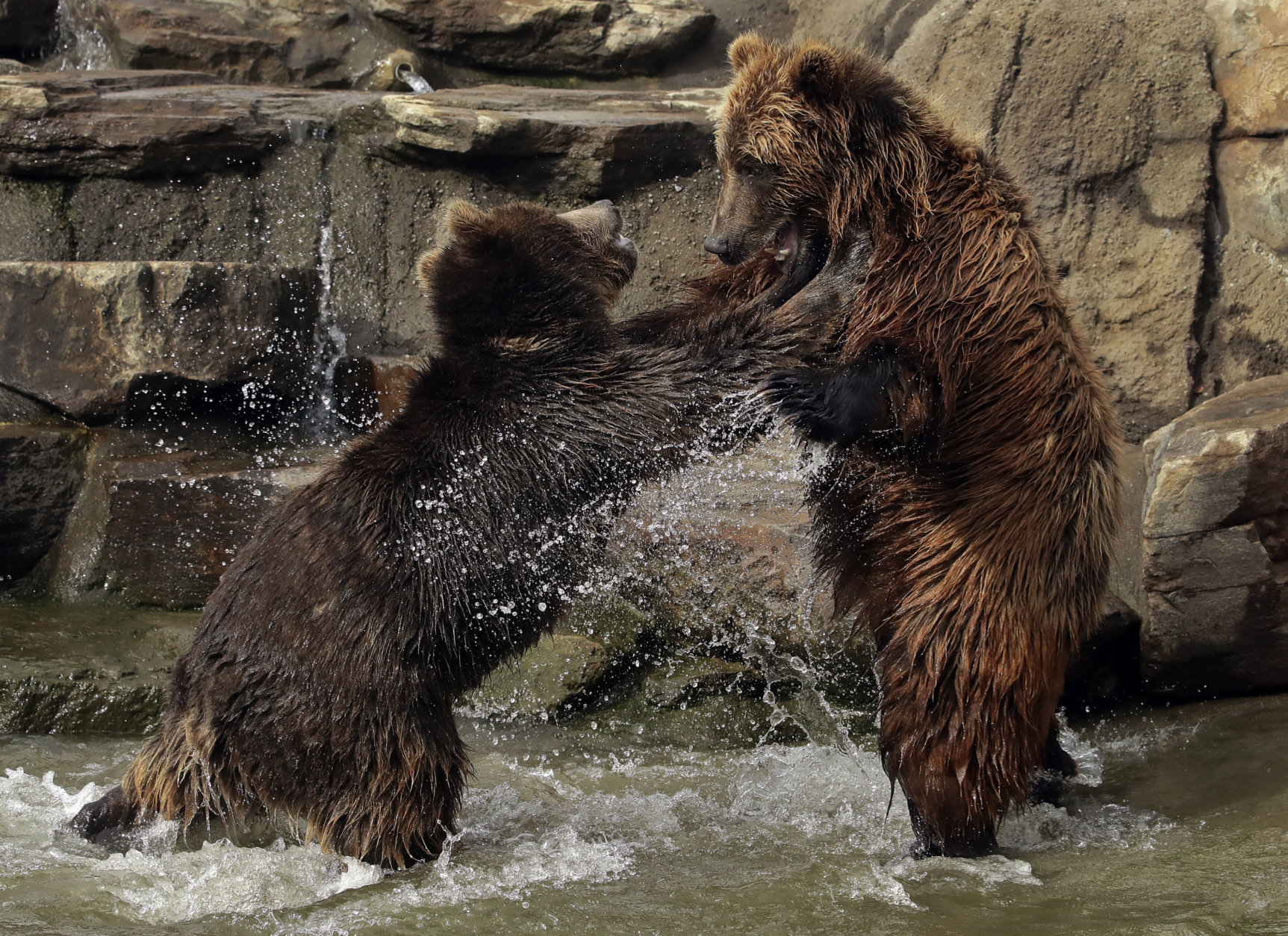 Bears frolic at the Oakland Zoo, which is closed for the day due to recent storms, on Thursday, Jan. 17, 2019, in Oakland, Calif.  (AP Photo/Ben Margot)