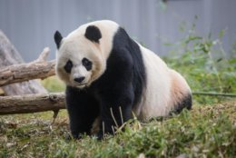 Mei Xiang the giant panda has begun the telltale patterns of panda breeding season at the National Zoo. (Courtesy Smithsonian's National Zoo & Conservation Biology Institute)