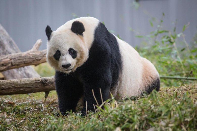 Love in the air: National Zoo's giant panda Mei Xiang enters breeding season