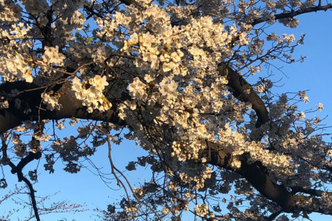 Cherry blossom peak bloom predicted to be earlier than anticipated