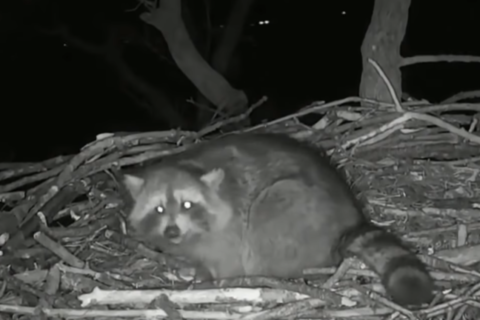 Eagle Cam Update: Raccoon eats eggs while Liberty, Justice run errands