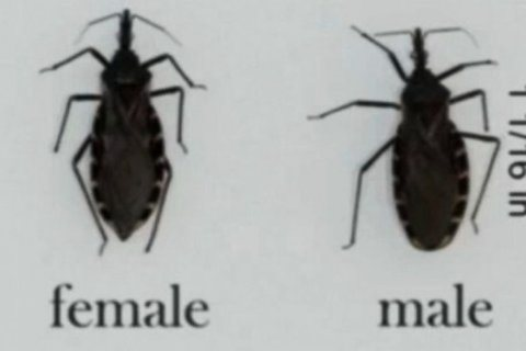 CDC confirms case of blood-sucking 'kissing bug' confirmed in Delaware