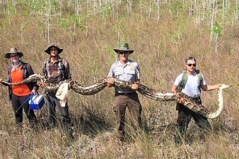 Scientists just captured a record 17-foot-long python in Florida