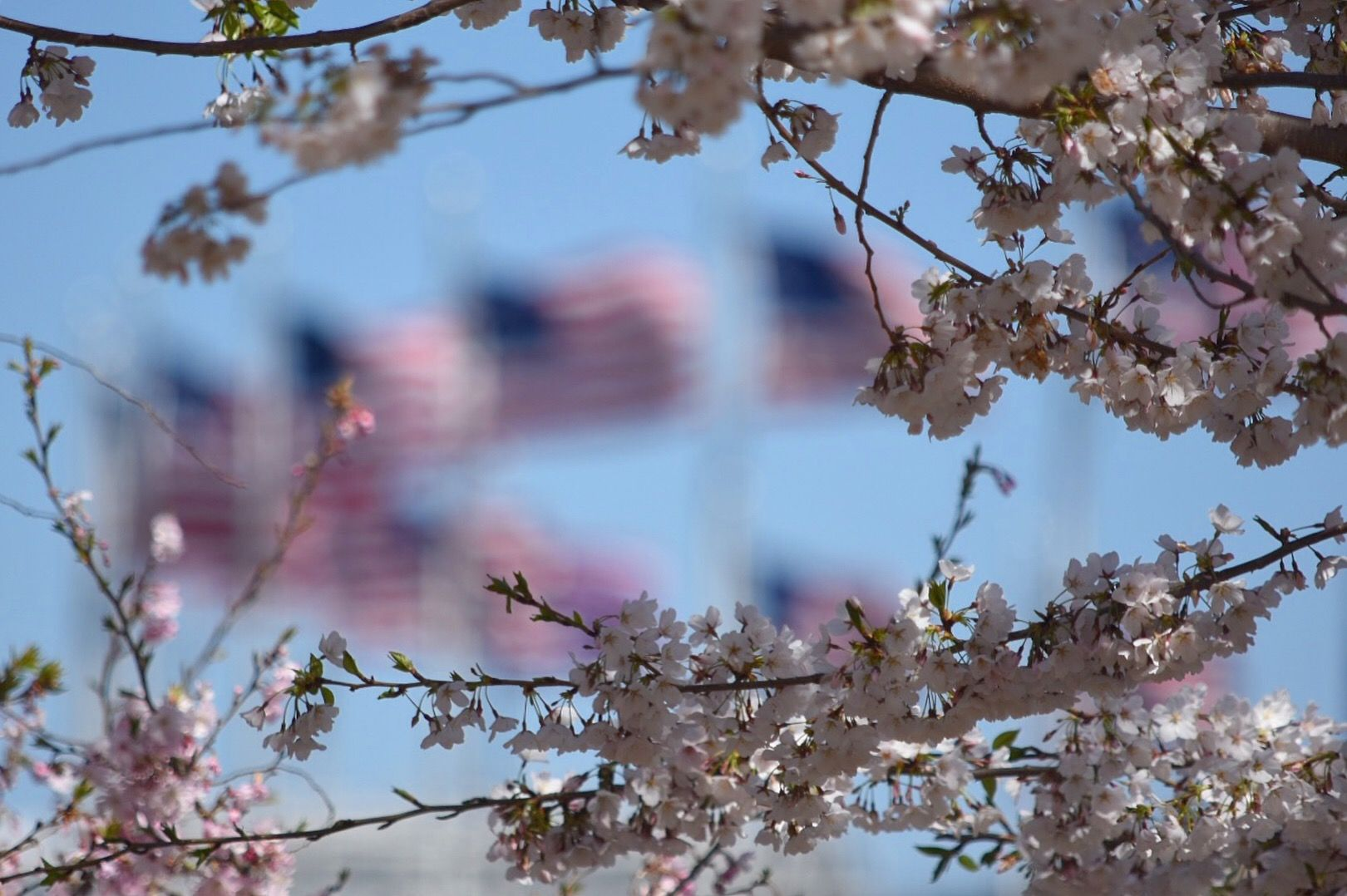 Cherry blossoms swayed in the brisk winds Monday. The flags surrounding the Washington Monument whipped in the wind. (WTOP/Dave Dildine)