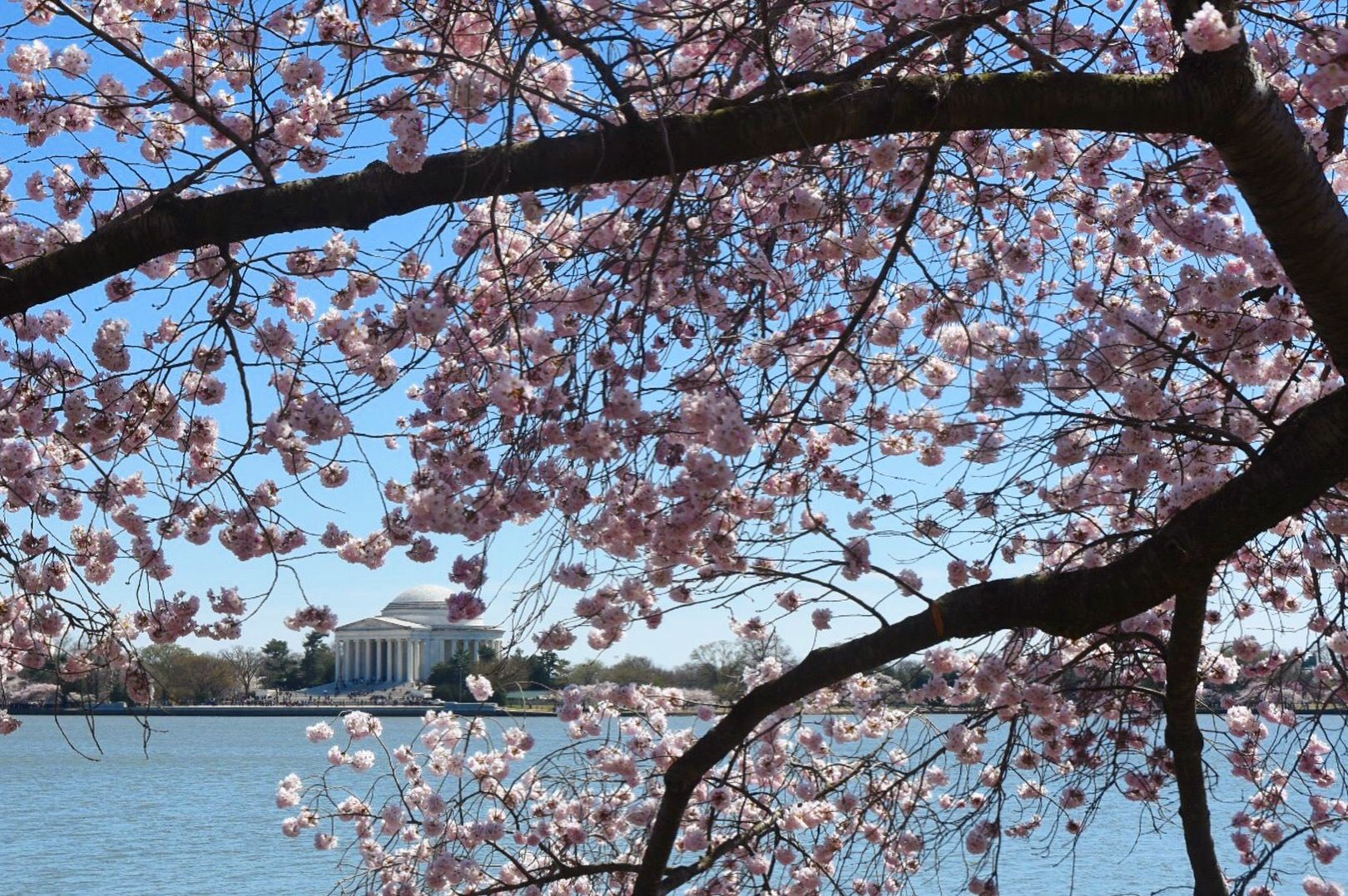 The cherry trees around the Tidal Basin achieved peak bloom on a brisk Monday, April 1, 2019. Winds gusted over 30 miles per hour, ruffling the water of the Tidal Basin. (WTOP/Dave Dildine)