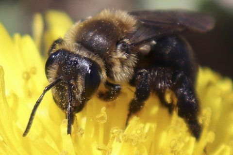 Howard County taking steps to protect bees